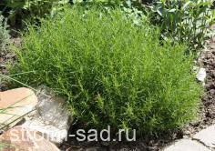 Сантолина Зеленоватая или зеленолистная (Santolina virens)