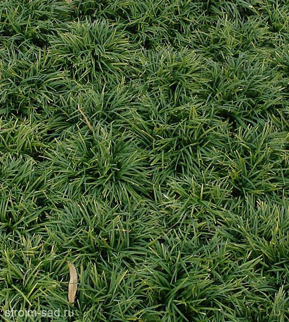 Офиопогон японский (Ophiopogon jap.)