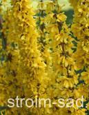 Форзиция промежуточная (Forsythia × intermedia)