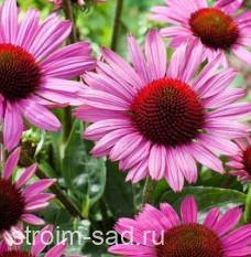 Эхинацея пурпурная (сорта) Echinacea