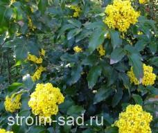 Магония падуболистная (Mahonia aquifolum)