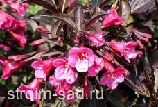 Вейгела цветущая «Minor Black»