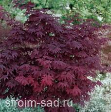Клен японский красный веерный «Atropurpureum»
