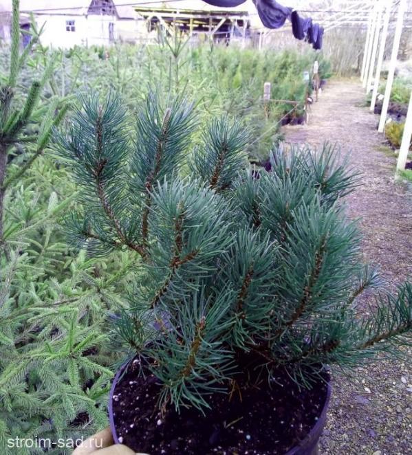 Сосна горная Мугус «Pinus mugo Mughus»