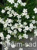 Гвоздика травянка (Dianthus deitoides)