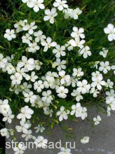 Гвоздика травянка Альбифлорус
