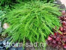 Жимолость шапочная «Moss Green» Lonicera pileata