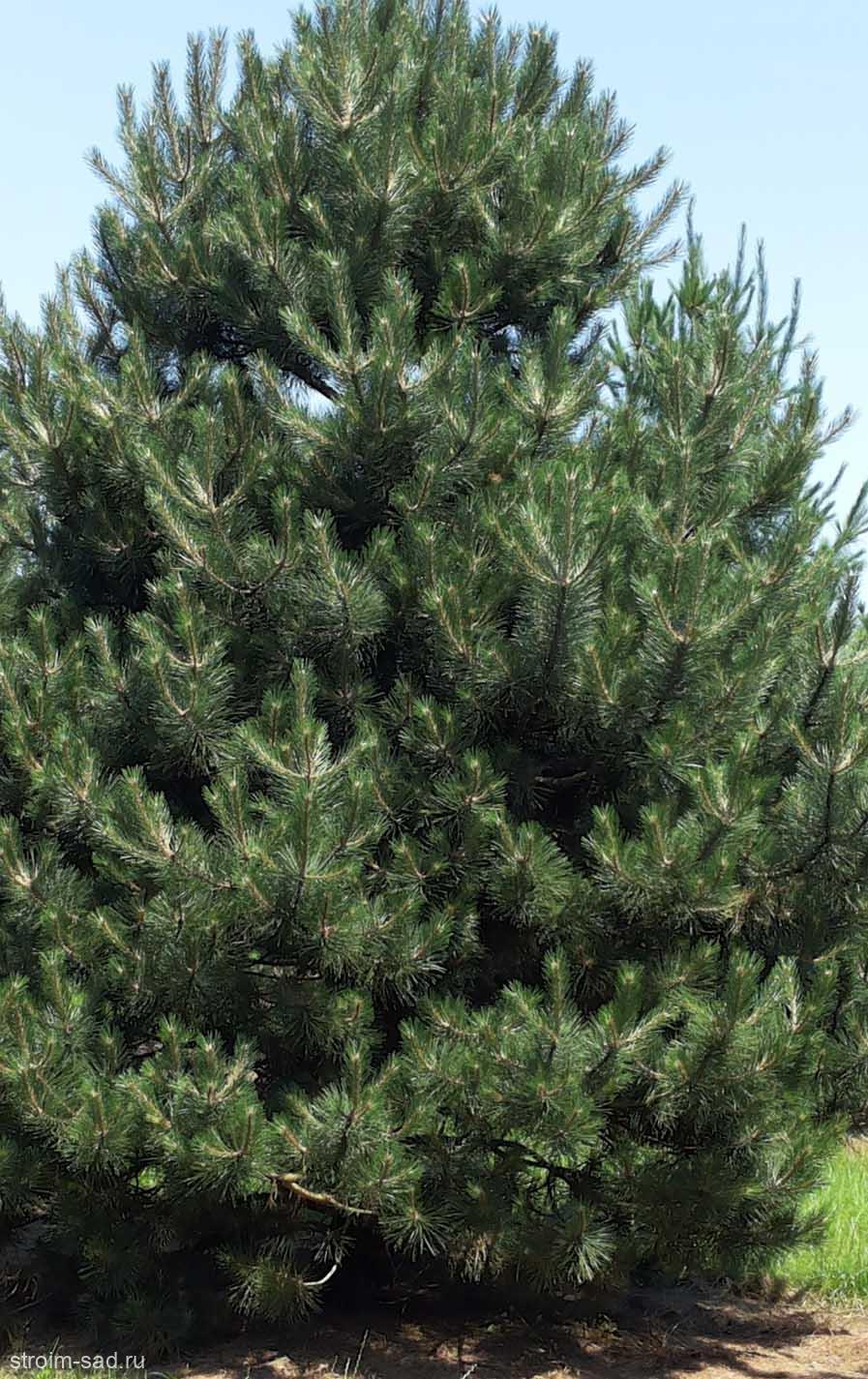 Сосна черная «Pinus nigra» (40-60 см)