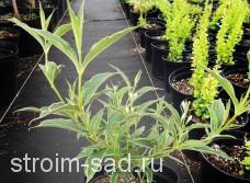 Вейгела цветущая Сплендид(40-60 см) , шт
