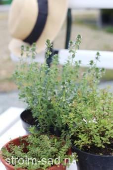 Тимьян, чабрец (сорта) Thymus