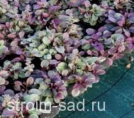 Живучка ползучая( почвопокров.) , конт, 0,5 л