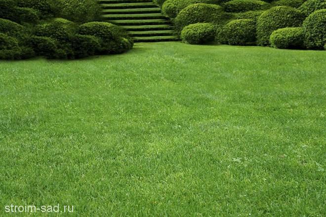 Виды и особенности газонных трав